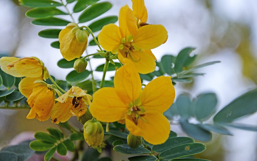 Yellow Cassia