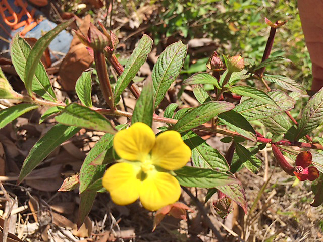Mexican Primrose Willow