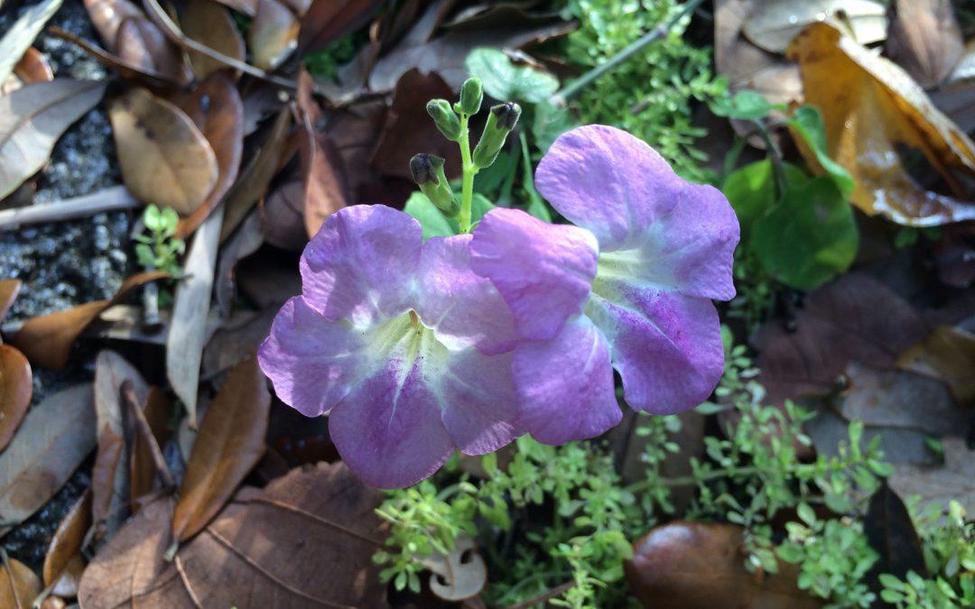 Purple Trumpet Wildflower