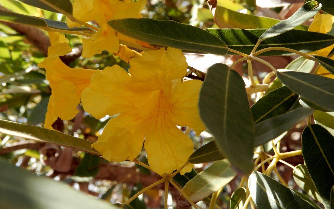 Yellow Tabebuia