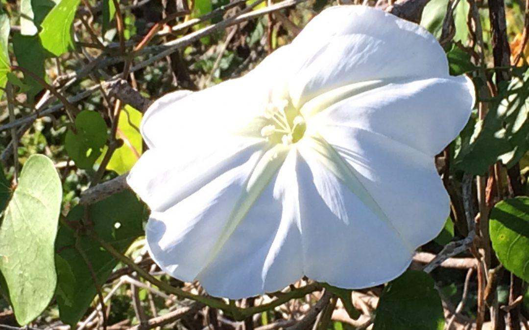 White Morning Glory