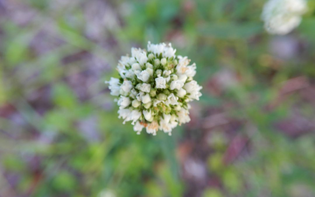 Prostrate False Buttonweed
