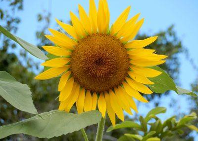 sunflower-2000