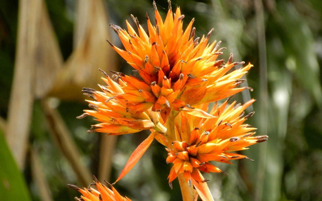 Orange Bromeliad Bloom