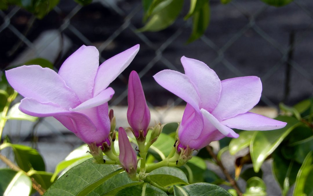 Purple Mandevilla Vine