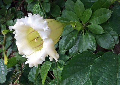 chalice-vine-flower-2000