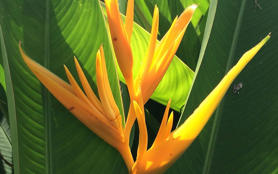 Golden Torch Heliconia