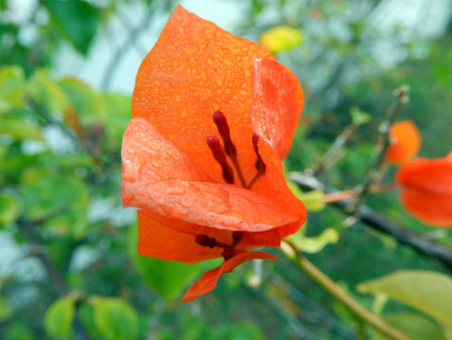 Orange King Bougainvillea