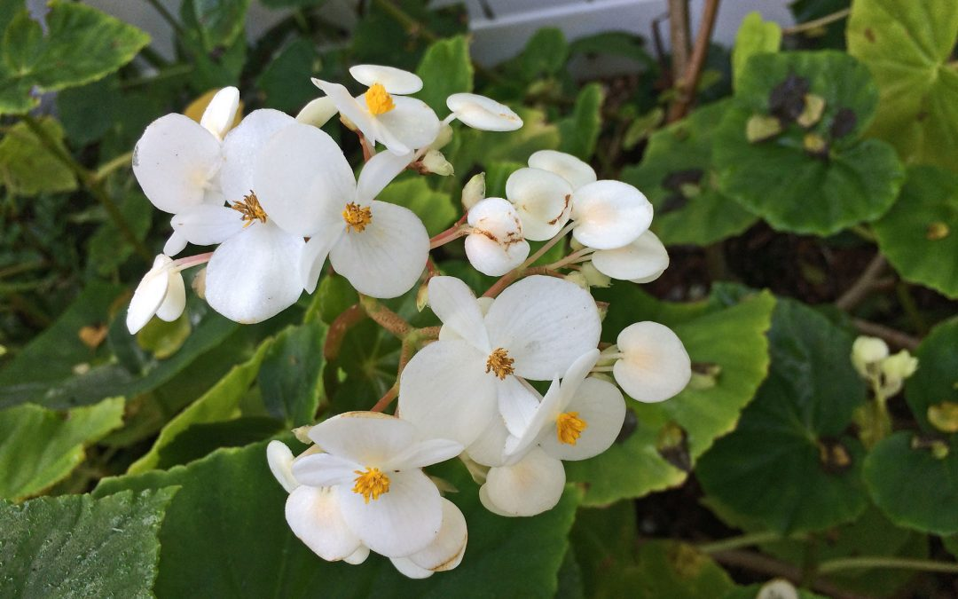 White Green Leaf Begonia